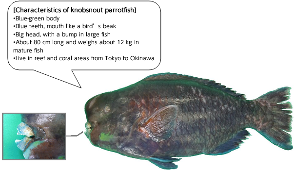 Be careful with unfamiliar fish food poisoning from for Parrot fish facts